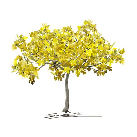 Young fig tree (Ficus carica L.) with yellow leaves in autumn, colored vector image on white background