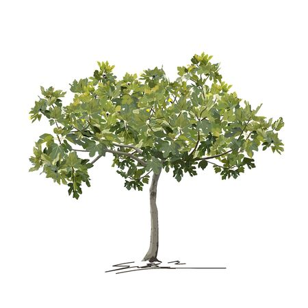 Young fig tree (Ficus carica L.) in summer (spring), before fruit formation, color vector image on white background