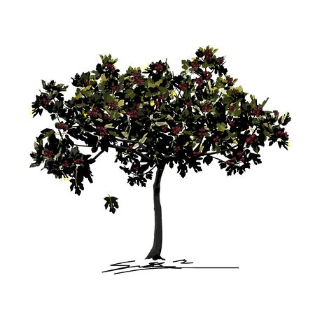 Young fig tree (Ficus carica L.) with mature fruit in late summer, fresco technique, colored vector image on white background Çizim