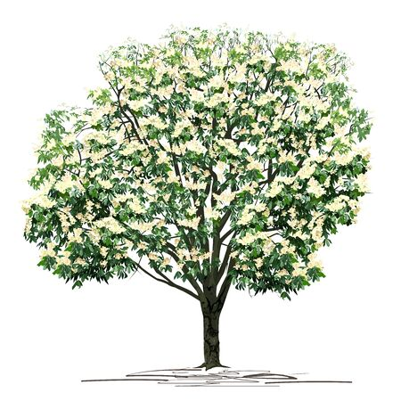 Flowering chestnut (Castanea L.) tree with white colors, colored vector image on white background Çizim