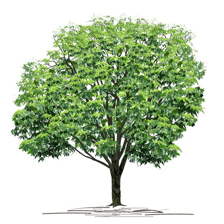 Chestnut (Castanea L.) tree with thick green foliage, colored vector image on white background