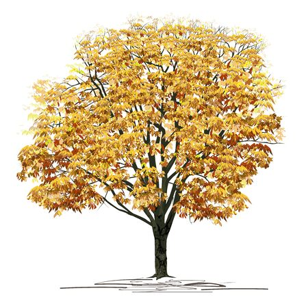 Chestnut (Castanea L.) tree with dense yellow foliage, color vector image on a white background Çizim