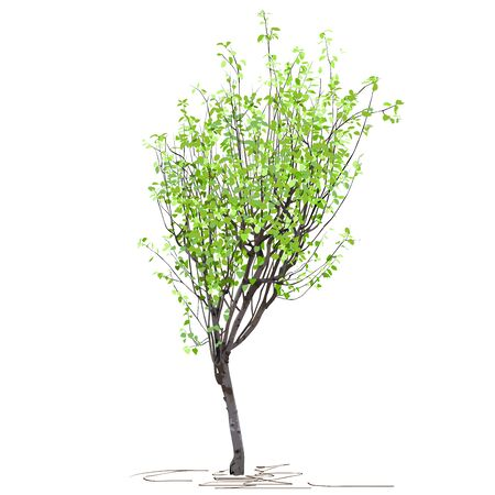 A young tree of quince ordinary (Cydonia oblonga L.), in summer, after flowering, a colored vector image on a white background Çizim