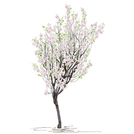 A young tree of quince ordinary (Cydonia oblonga L.), in spring, during flowering, a colored vector image on a white background