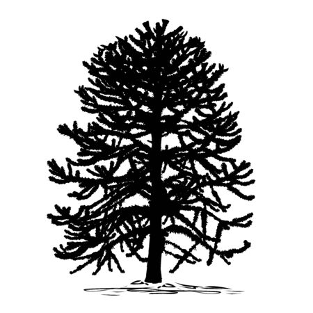 Silhouette of araucaria (Araucaria L.) tree, black vector image on white background