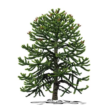 A small araucaria tree (Araucaria L.), a colored vector image on a white background
