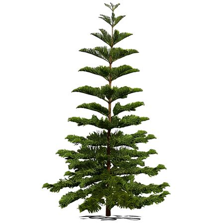 Evergreen coniferous araucaria diverse (Araucaria heterophylla L., Norfolk pine, Norfolk Island pine, Polynesian pine), colored vector image on white background Çizim