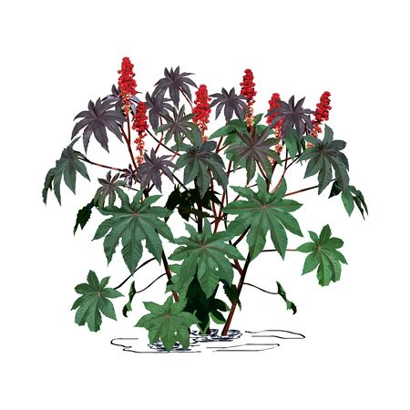 Castor-bean tree (Ricinus communis L.) with large flowers, color vector image on white background Çizim