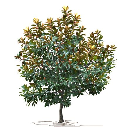 Magnolia (Magnolia grandiflora L.) in autumn, color vector image on white background