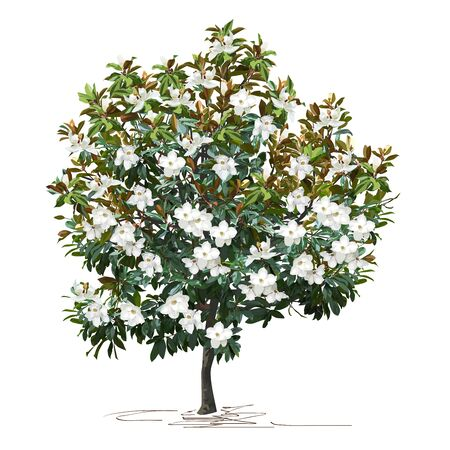 Magnolia (Magnolia grandiflora L.) with large flowers, color vector image on white background Çizim