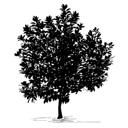 Magnolia tree (Magnolia grandiflora L.) silhouette, black vector image on white background Çizim