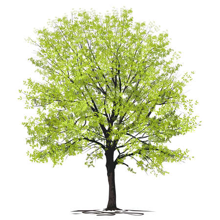 Ash-tree (Fraxinus L.) with young green foliage, color vector image on a white background