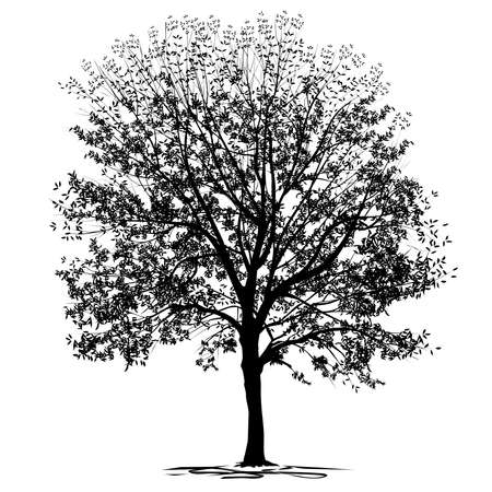 Silhouette of ash-tree (Fraxinus L.) with foliage, black vector image on a white background