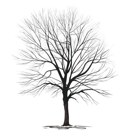 Ash-tree (Fraxinus L.) with fallen foliage, in winter, a color vector image on a white background Çizim