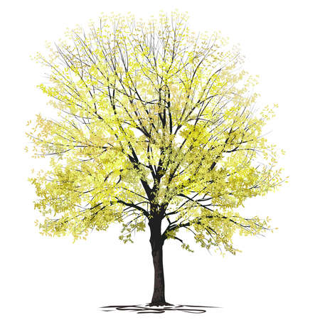 Ash-tree (Fraxinus L.) with yellow foliage, autumn, color vector image on a white background