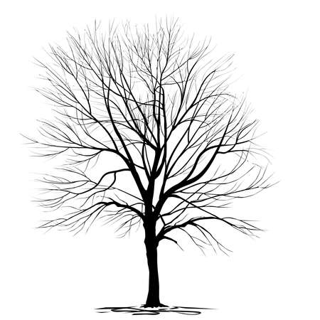 Silhouette of ash-tree (Fraxinus L.) with fallen foliage, in winter, black vector image on a white background