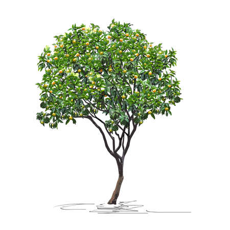 Young tangerine tree (Citrus reticulata L.) with immature fruits, Chinese New Year, color vector image on white background Çizim