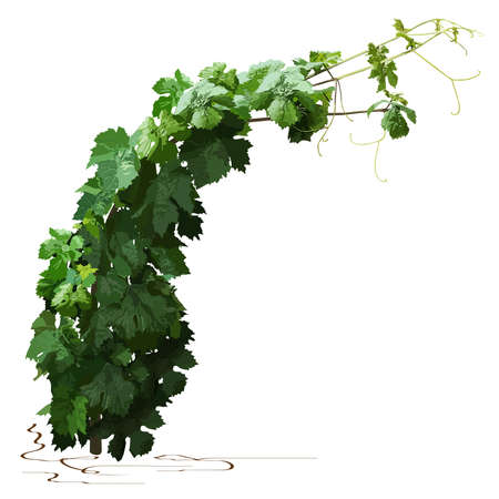 Young grapevine, color vector image on white background Çizim