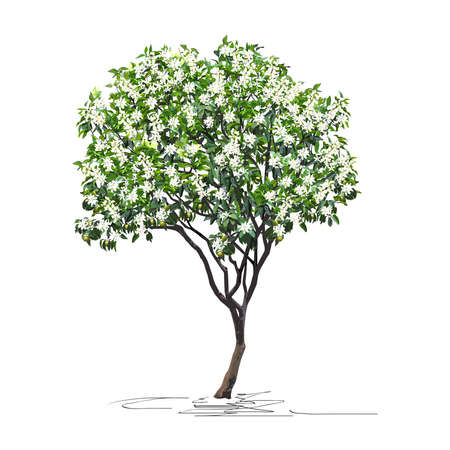 Young flowering tangerine tree (Citrus reticulata L.) with immature fruits, Chinese New Year, color vector image on a white background Çizim