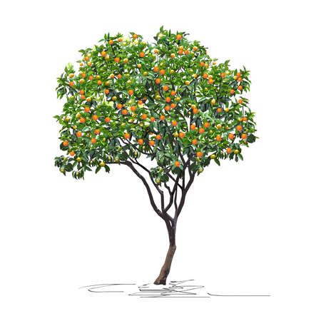 Young tangerine tree (Citrus reticulata L.) with mature fruits, Chinese New Year, color vector image on white background