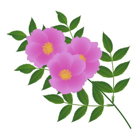 A branch of wild rose on a white background. Vector illustration.