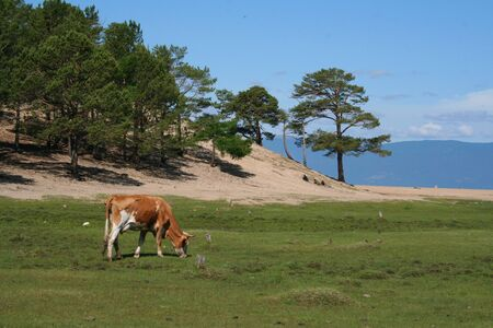 The cow on Olkhon island. photo