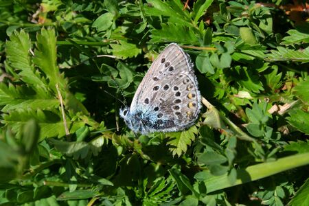 The Copper-Butterfly sit on the bush. photo