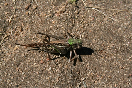 arthropod: The locust sit on the soil. The Olkhon island, Baikal lake. Stock Photo