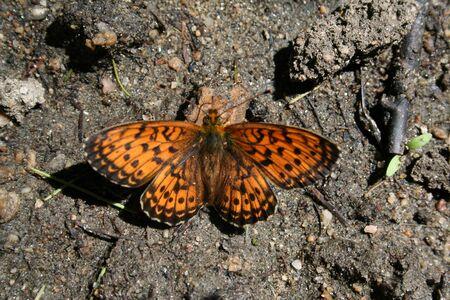 The butterfly Arashnia on Olkhon island, Baikal lake. photo