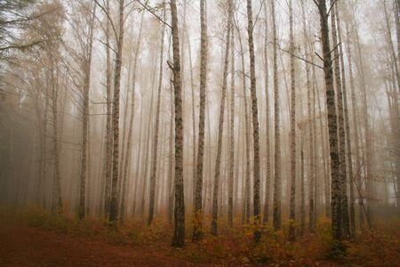 copse: The birch grove.