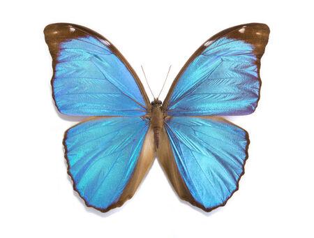 morpho menelaus: mariposa tropical Morpho menelaus sobre un fondo blanco