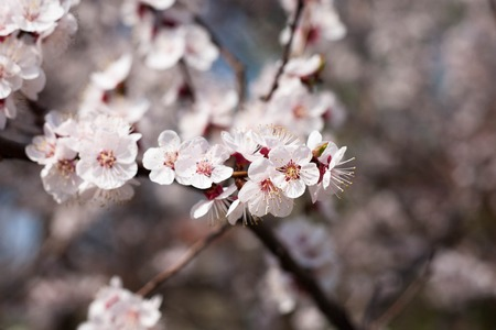 apricot blossoms in spring in the garden photo