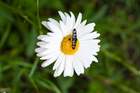 camomiles macro: insect sitting on a white daisy that grows in the green grass