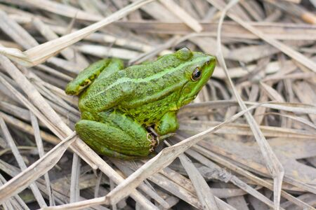 green river frog sitting on a dry grass