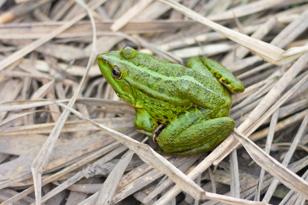 bright eyed: green river frog sitting on a dry grass