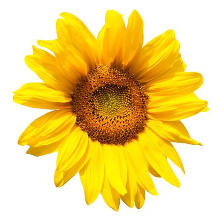 garden cornflowers: yellow sunflower bloom in the village in the garden Stock Photo