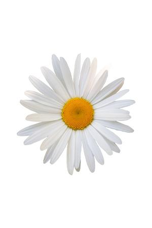 beautiful flower white daisy on white background 写真素材