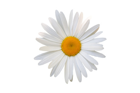 single object: beautiful flower white daisy on white background Stock Photo