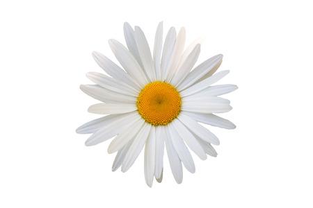 marguerite: belle fleur marguerite blanche sur fond blanc