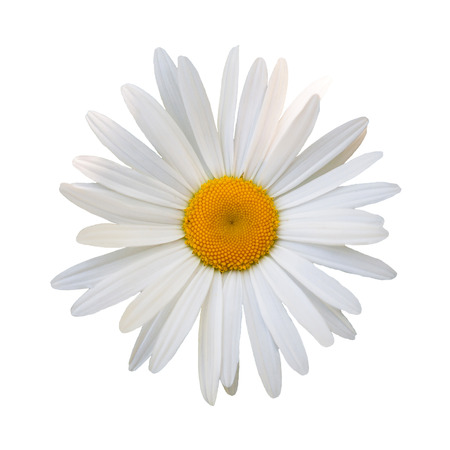 beautiful flower white daisy on white background Stock Photo