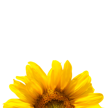 e pretty: yellow sunflower bloom in the village in the garden Stock Photo