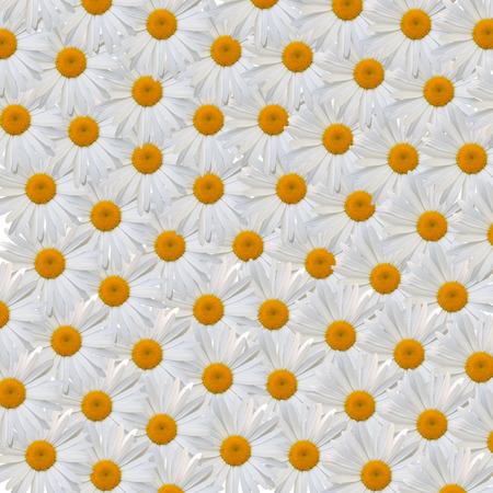 pâquerette: belle fleur marguerite blanche sur fond blanc