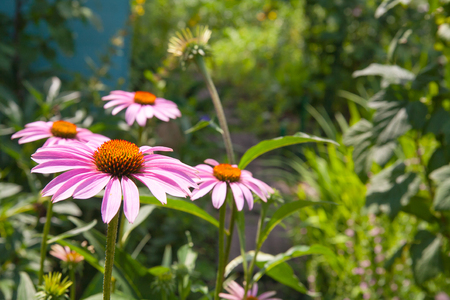 chamomile flower: beautiful pink chamomile flower in the garden