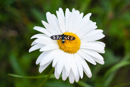 insect sitting on a white daisy that grows in the green grass
