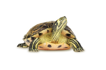 turtle on white background photo