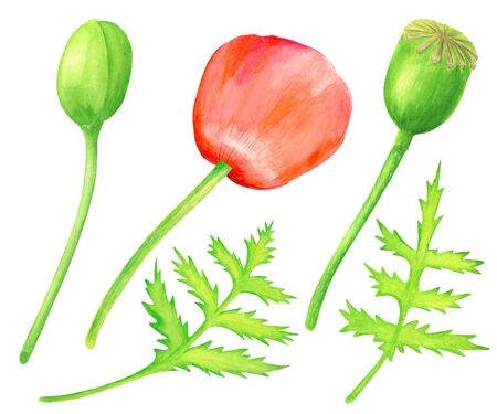 Watercolor red Poppy set. Hand drawn botanical Papaver flower, poppy bud, leaf and seed box illustration isolated on white background. Bright field plant elements for cards, decoration, design