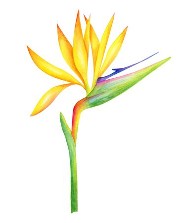 Watercolor Strelitzia flower botanical illustration. Hand painted Bird of Paradise plant isolated on white background. Bright crane flower with yellow petals for cards, decoration