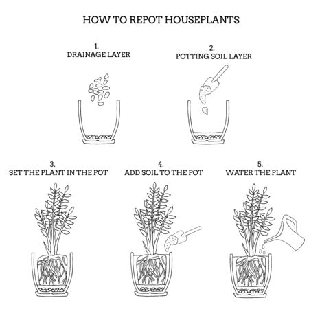 Transplanting potted flower steps. Vector instruction. How to repot a zamioculcas plant. Hand drawn black and white scheme illustration. Gardening, houseplants concept