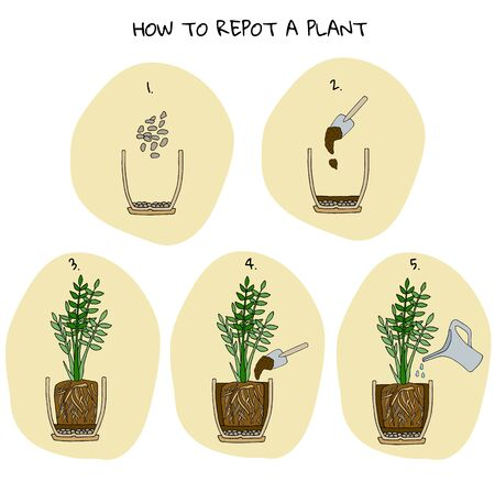 Steps of transplanting potted flower. Vector instruction. How to repot a zamioculcas plant. Hand drawn colored scheme illustration. Gardening concept. Flower pot, drainage, potting soil, watering