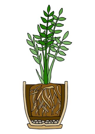 Zamioculcas plant in pot. Hand drawn cutaway colored scheme vector illustration. Plant with roots in flower pot with drainage and potting soil.